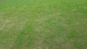 lawn yardley slit seed tall fescue